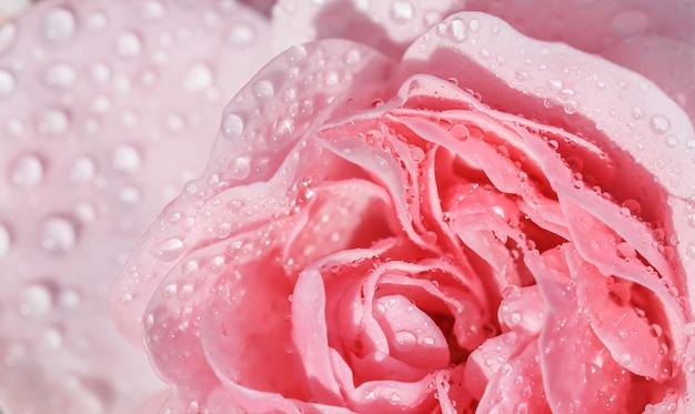 Piękna różowa róża z kroplami wody może być używana jako romantyczny styl tła miękkiego ostrości