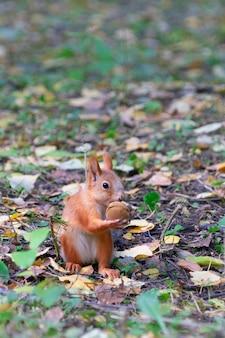Piękna rudowłosa wiewiórka siedzi i zjada orzechy w żółtej jesieni w lesie.