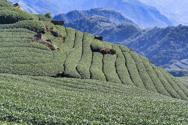 Piękna scena rzędów ogrodu herbacianego wyizolowana z błękitnym niebem i chmurą, koncepcja projektu tła produktu herbacianego, miejsca kopiowania, widok z lotu ptaka