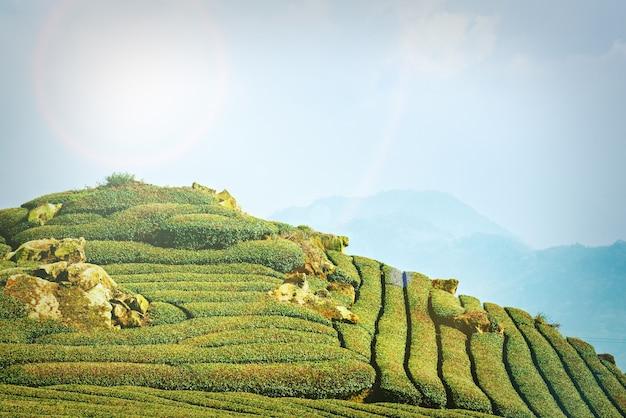 Piękna scena rzędów ogrodu herbaty na białym tle z błękitnego nieba i chmury, koncepcja projektowania tła produktu herbacianego, miejsce na kopię, widok z lotu ptaka