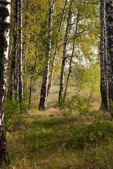 Piękna scena z brzozami w żółtym jesiennym lesie brzozowym w październiku wśród innych brzóz