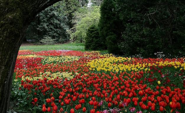 Piękna sceneria kwitnących tulipanów sprenger na wyspie mainau - bodensee