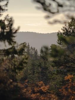 Piękna sceneria lasu z dużą ilością jodeł otoczonych wysokimi górami w norwegii