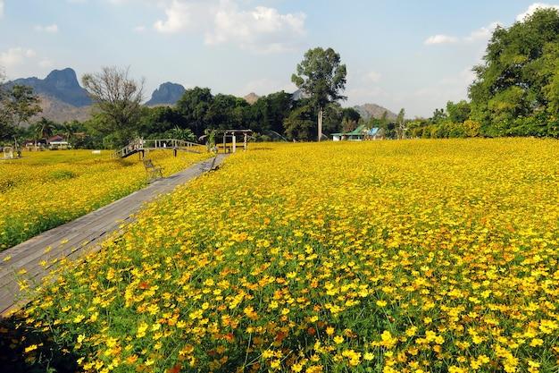 Piękna sceneria ogrodu kwiatowego z żółtego kosmosu z drewnianym mostem i pięknym jasnym błękitnym niebem