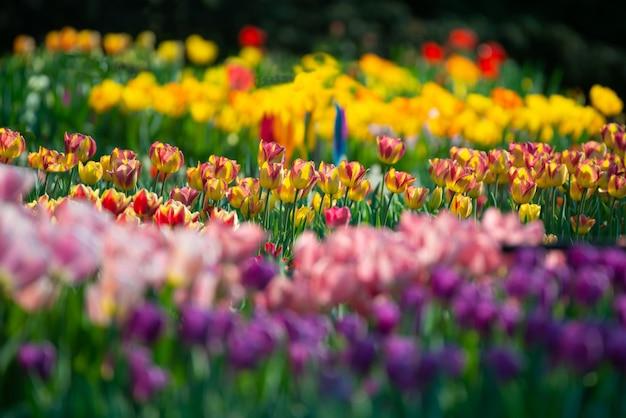 Piękna sceneria pole z kolorowymi tulipanami na zamazanym tle