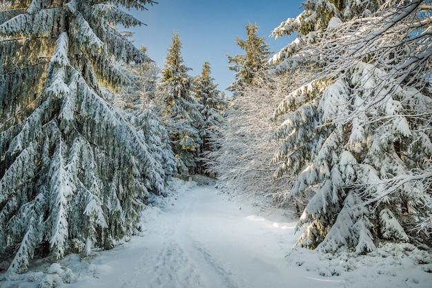 Piękna sceneria świerków pokrytych śniegiem na wzgórzach zimą
