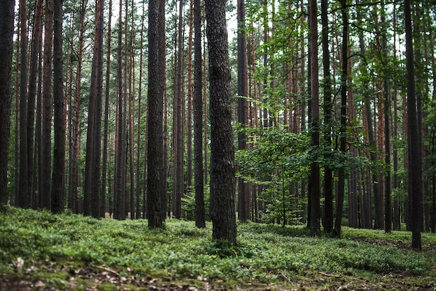 Piękna sceneria wysokich drzew w lesie