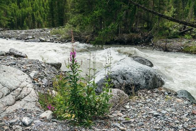 Piękna sceneria z małymi różowymi kwiatami wierzbówki wśród głazów i kamieni w pobliżu potężnej górskiej rzeki. malowniczy górski krajobraz z różowymi kwiatami kwitnącej sally w pobliżu szybko burzliwej rzeki.
