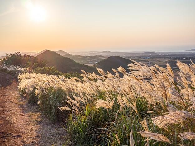 Piękna silver grass lub miscanthus sinensis z wyspy jeju w korei jesienią.