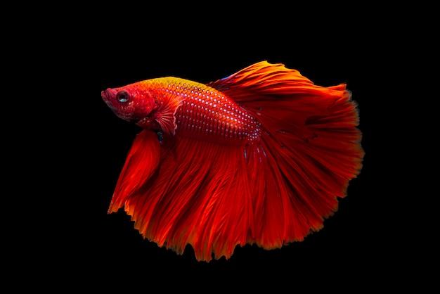 Piękna tajlandzka bój ryba na czarnym tle