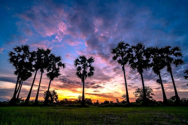 Piękna toddy palma w wschodu słońca tle.