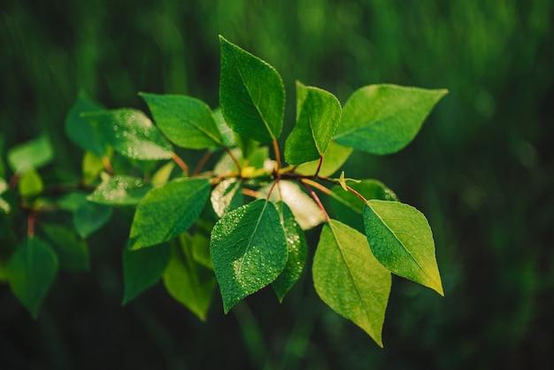 Piękna topoli gałąź z rosy zakończeniem. żywe zielone liście topoli z kropelkami na bokeh natury