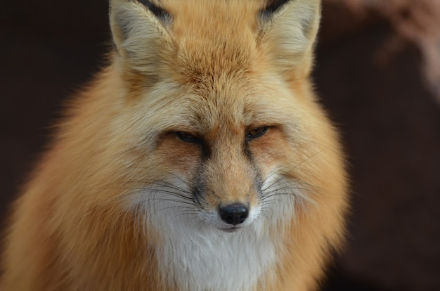 Piękna twarz rudego lisa z bliska i osobiście.