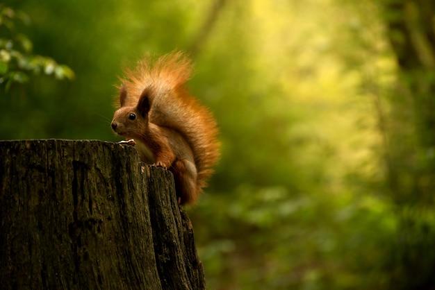 Piękna wiewiórka puszysta jedzenie duży orzech w lesie jesienią. portret ciekawej wiewiórki