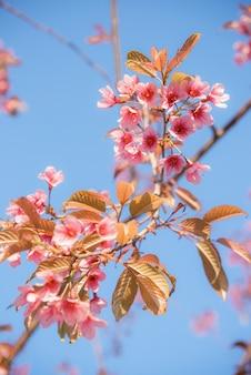 Piękna wiosna z pełnymi różowymi kwiatami wiśni.