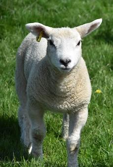 Piękna włochata młoda jagnięcina na pastwisku z trawą