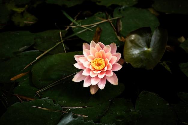 Piękna wodna leluja z zamazanym tłem