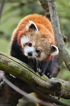 Piękna zagrożona czerwona panda na zielonym drzewie