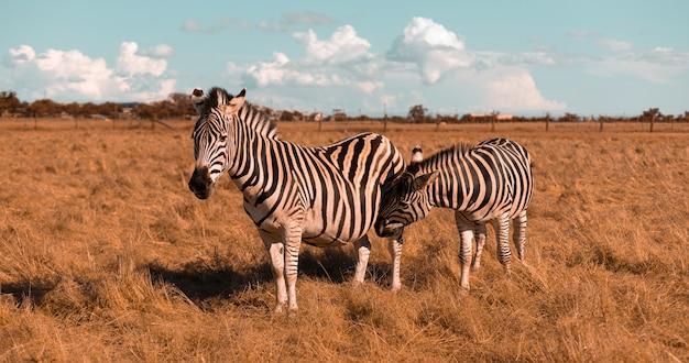 Piękna zebra w ciąży i słodkie dziecko spacerują po stepie i jedzą trawę w słoneczny dzień. dziki koń w rezerwacie