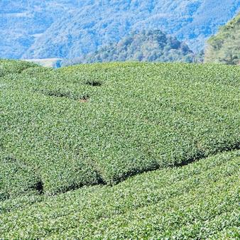 Piękna zielona herbata uprawa ogród wierszy scena z błękitnym niebem i chmurą, koncepcja projektowania tła produktu świeżej herbaty, kopia przestrzeń.