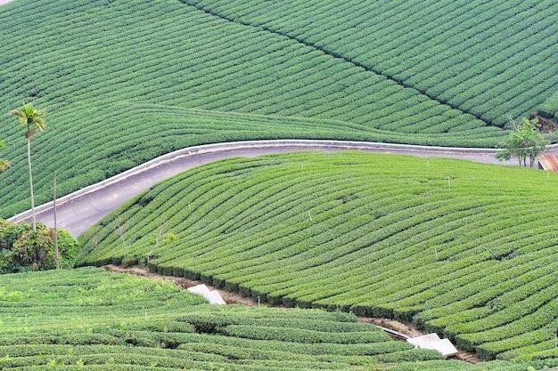 Piękna zielona herbata uprawa rzędy ogrodowe sceny z błękitnym niebem i chmurą, koncepcja projektu świeżej herbaty, miejsce na kopię.