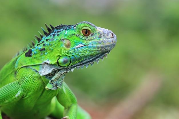 Piękna zielona iguana zbliżenie głowy na zbliżenie zwierząt z drewna
