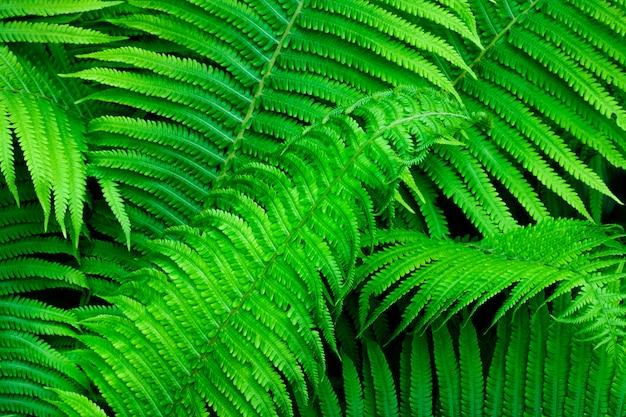 Piękna zielona paproć opuszcza naturalnego tło