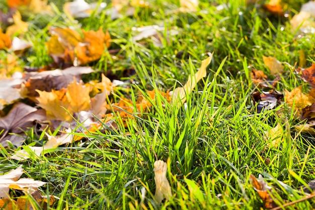Piękna zielona trawa, na którą spadają jesienne liście w kolorze żółtym i innych kolorach, w sezonie jesiennym, selektywna ostrość