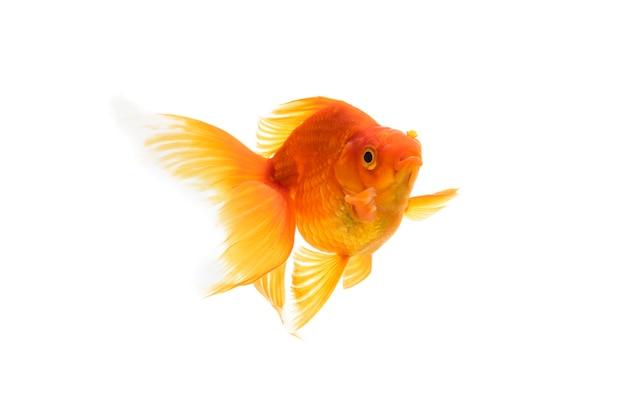 Piękna złota ryba na białym tle