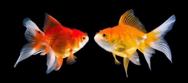 Piękna złota ryba na czerni