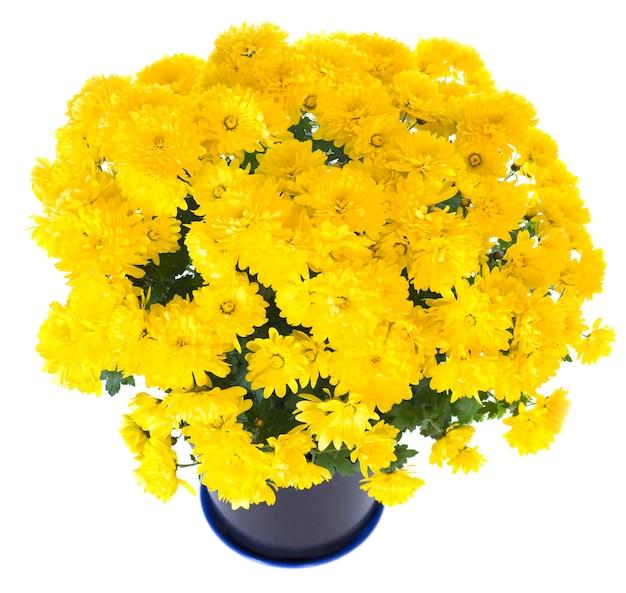 Piękna żółta chryzantema w doniczce na białym tle. dwa ujęcia ściegu obrazu.