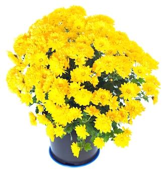 Piękna żółta chryzantema w doniczce na białym tle