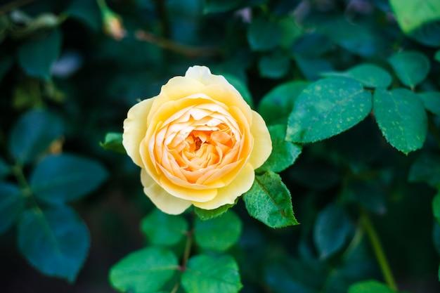 Piękna żółta róża z bliska w ogrodzie