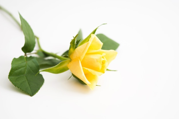 Piękna żółta róża z zielonymi liśćmi i płatkami na pastelowym żółtym tle
