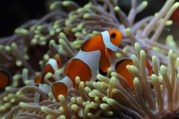 Piękne anemonowe ryby na rafie koralowej, indonezja podwodne ryby morskie