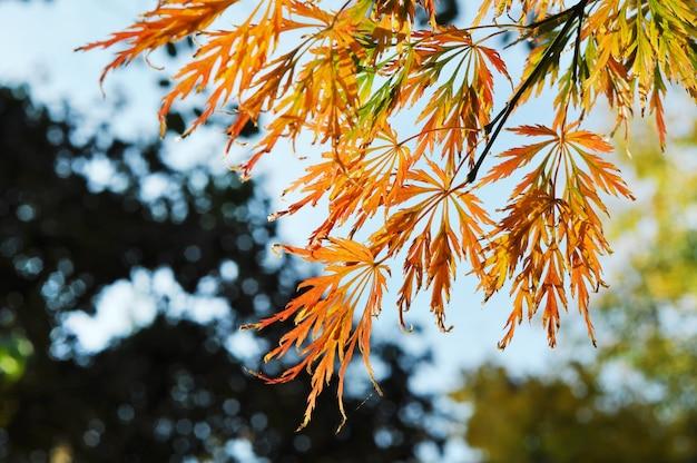 Piękne ażurowe liście klonu w jesiennym parku. złota jesień.