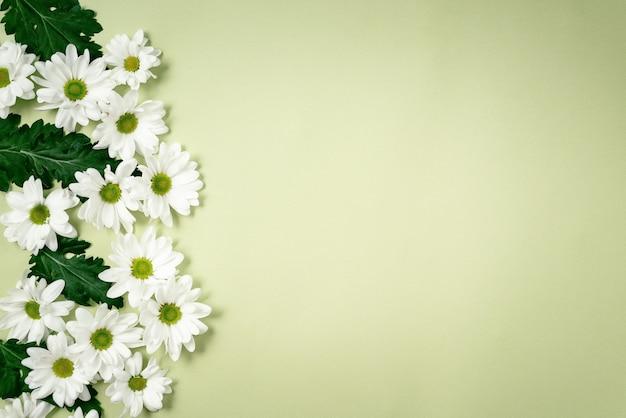 Piękne, białe chryzantemy leżą na zielonym tle.