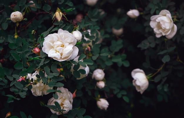 Piękne białe dzikie róże z ciemnozielonymi liśćmi.