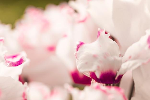 Piękne białe i fioletowe świeże kwiaty