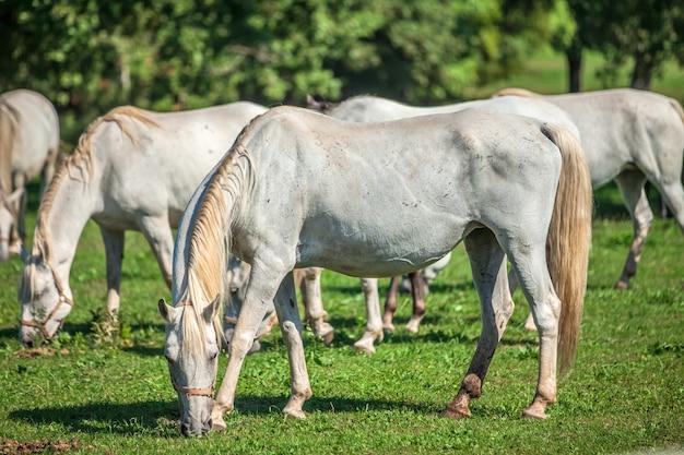 Piękne białe konie pasące się w lipica, park narodowy w słowenii