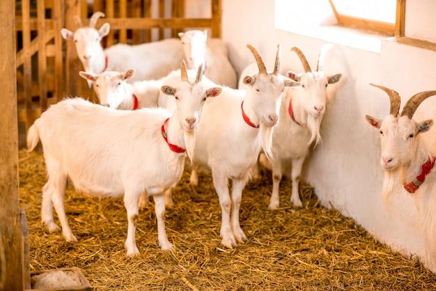 Piękne białe kozy stojące razem w stodole