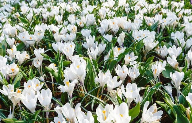 Piękne białe krokusy makro w okresie wiosennym. tle przyrody.