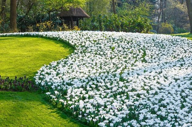 Piękne białe krokusy w wiosennym parku.