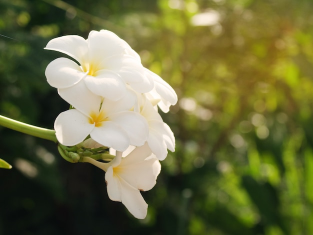 Piękne białe kwiaty frangipani na świeżym powietrzu