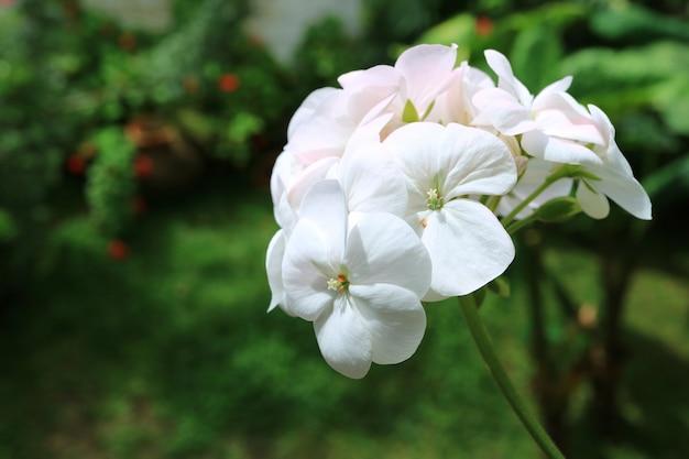 Piękne białe kwiaty geranium w słońcu z rozmytymi zielonymi liśćmi