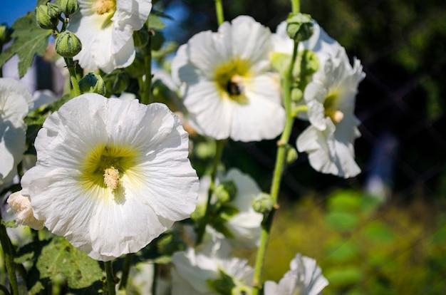 Piękne białe kwiaty malwy w ogrodzie z bliska w lecie
