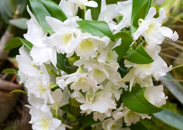Piękne białe kwiaty orchidei