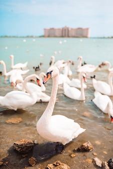 Piękne białe łabędzie i kaczki na jeziorze