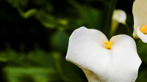 Piękne białe lilie calla