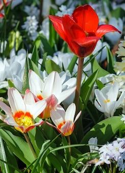 Piękne białe tulipany i jeden czerwony tulipan
